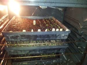 2 Trays of tomato starts in the oven